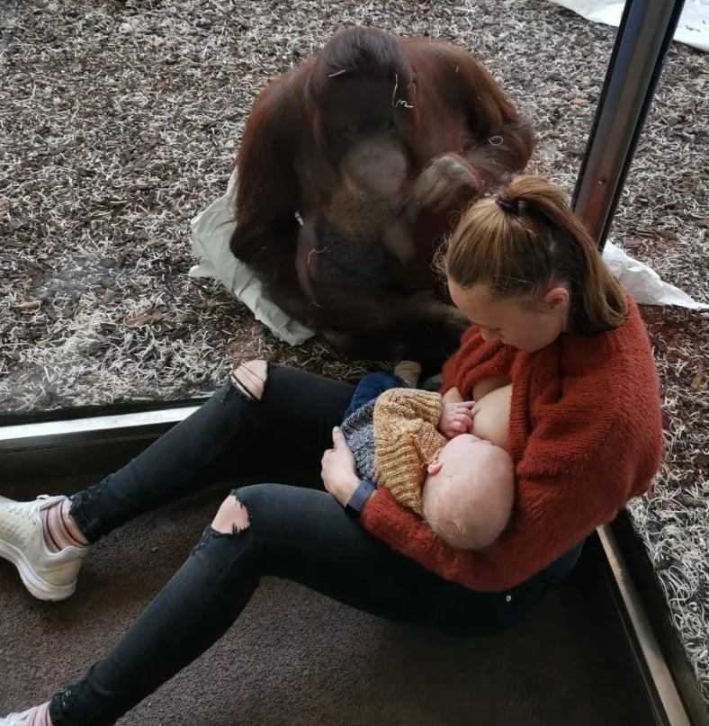 Orangutan Watches Mom Breastfeeding Her Baby | Video