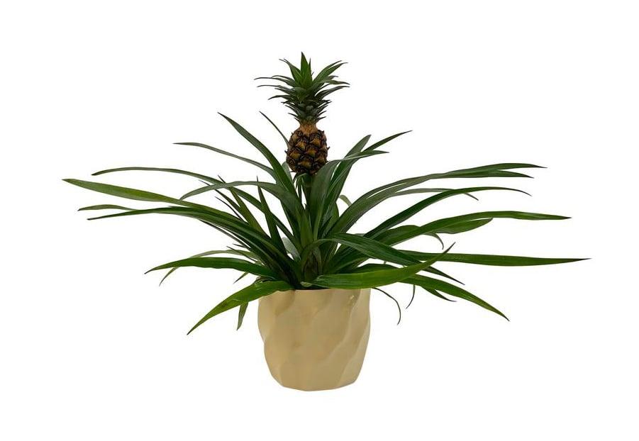 Shop Home Depot's Pineapple Plant