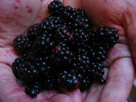 Savory Blackberry Recipe for Slow Cooker Pulled Pork With Blackberries 2010-08-10 14:27:59