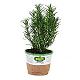 Rosemary Herb Plant ($5)