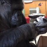 Gorilla Adopts Kittens   Video