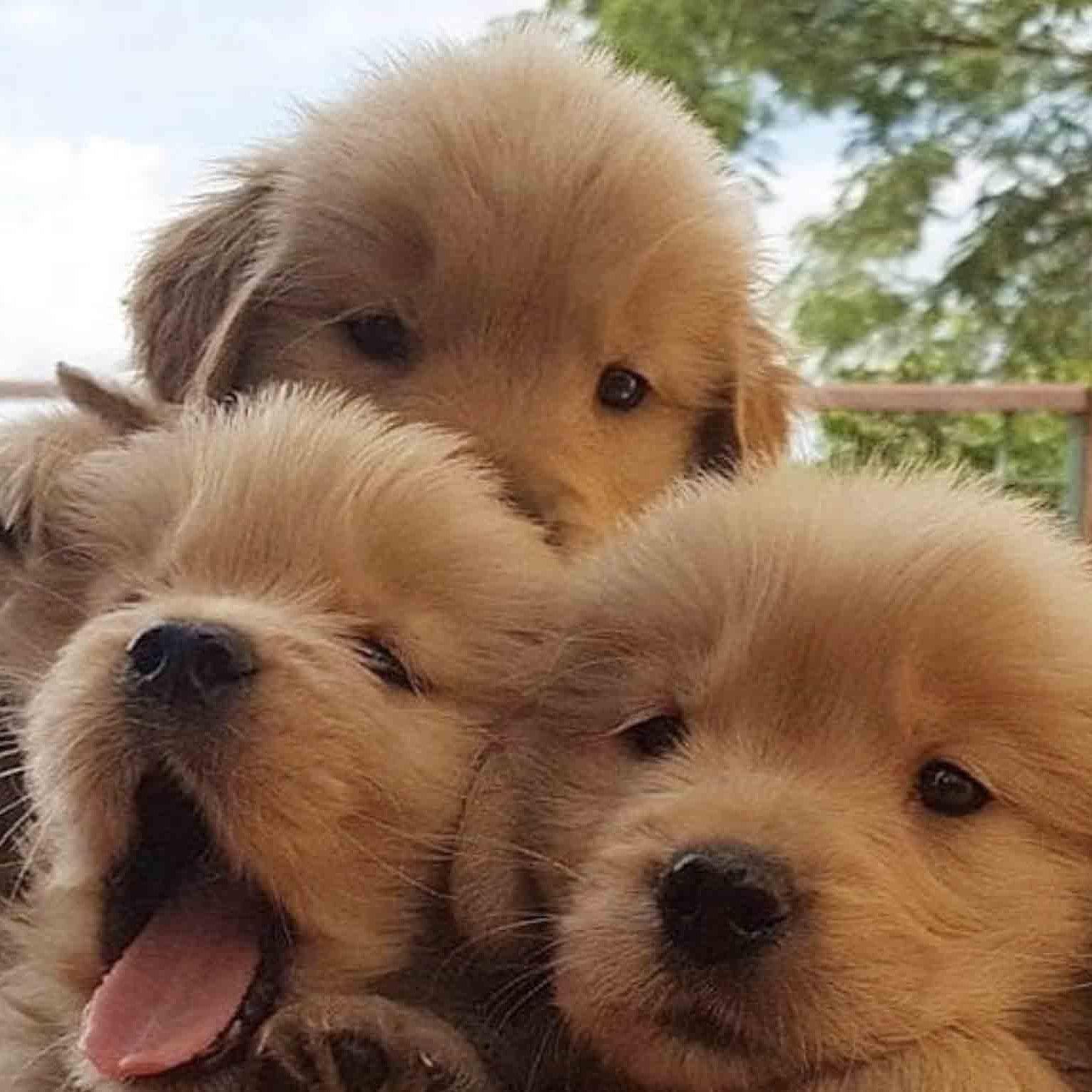 Photos Of Golden Retriever Puppies Popsugar Uk Pets