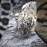 New Siberian Tiger Babies in Budapest