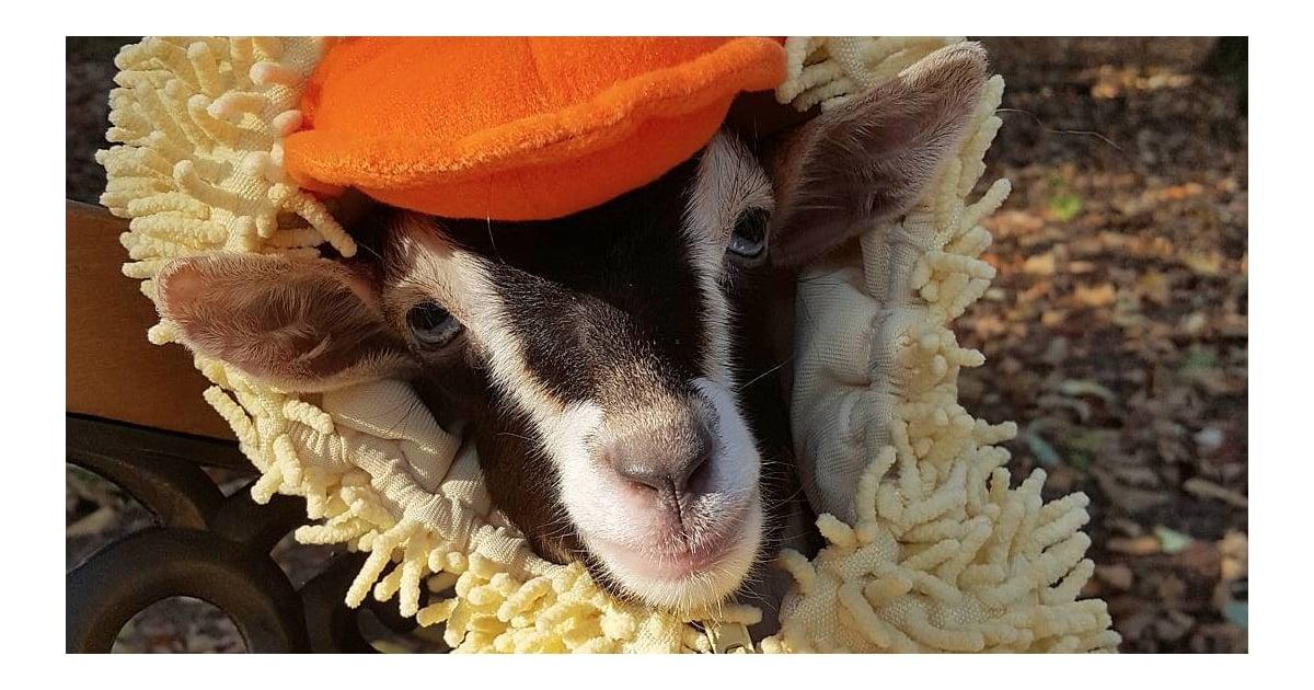Goat Dresses In Duck Costume Video POPSUGAR Pets - Rescue goat suffers anxiety calms duck costume