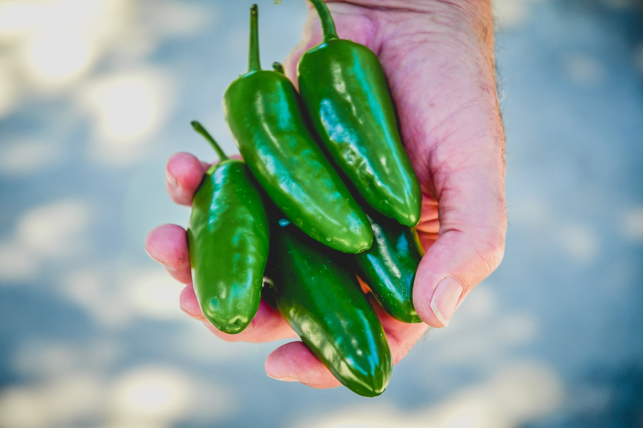 Hand holding jalapeno peppers fresh from the garden