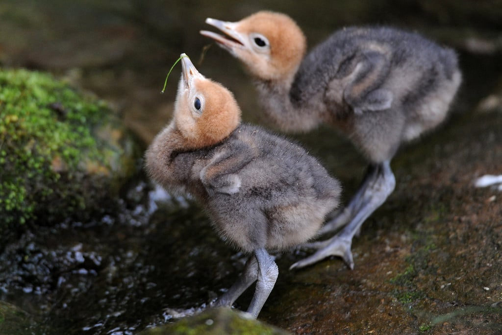 Blue crane chicks sure won't be blue for long with Spring to look forward to! Source: Getty