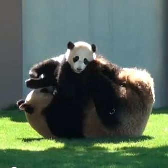 Cute Baby Panda Wrestles With Mom