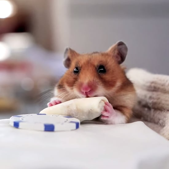 Hamster Eating Tiny Burritos | Video