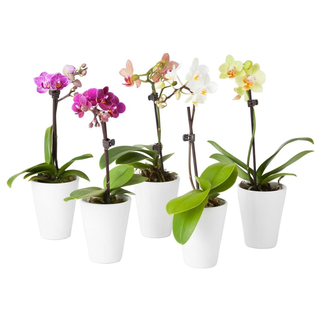 Phalaenopsis Plant With Pot