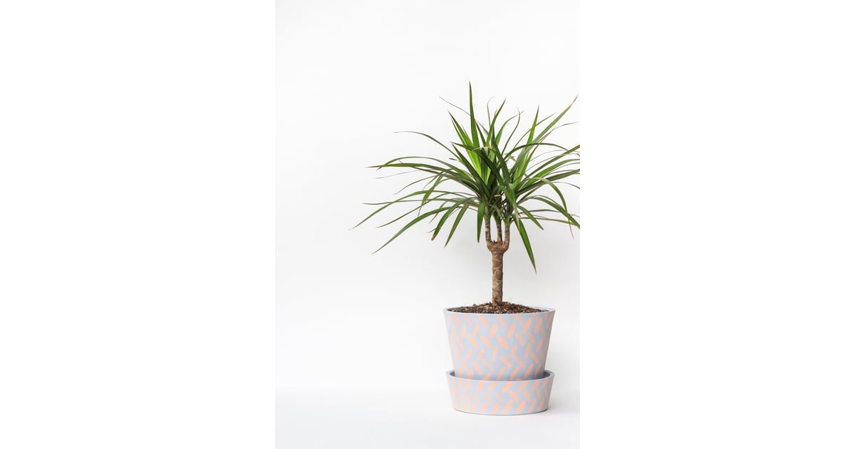 Madagascar Dragon Tree Best Houseplants For Low Light
