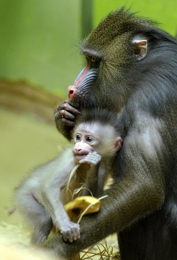 Baby Mandrill With Pablo and Zora