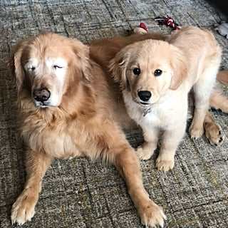 Blind Golden Retriever Gets Seeing Eye Dog