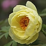 Peonies Naturally Occur in Many Colors, Including Shades of Red, Pink, Coral, White, and Yellow