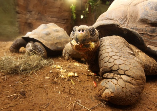 Galapagos Tortoises Are Messy Eaters!