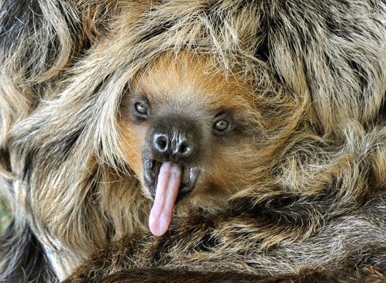 Sloths are extremely slow moving, usually covering about 1.2 miles per hour — but even that uses up a ton of energy for them. Hence the big yawn from this little guy!