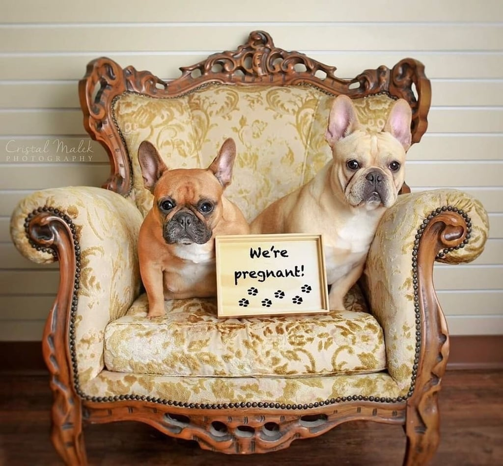 "Help! My heart was unprepared for the absolute cuteness (and adorable silliness) of this maternity shoot with French bulldogs. Texas photographer Cristal Malek gifted humanity with sweet snaps of Bordeaux and Cozette — two soon-to-be puppy parents — in a series of poses reserved for traditionally dramatic pictures.  Dog mom Cozette is captured on camera reading from What to Expect While You're Expecting and showing off a flowing tulle skirt, while also posing alongside the dad, Bordeaux. She even got the signature ""hand-heart on stomach"" pose down, with a full pregnancy glow.  Congrats are in order for the little Frenchie parents, since Cozette recently gave birth to three female pups. Something tells me they're equally precious and deserving of their own photo shoot. Luckily, Cristal was there yet again.  See all the photos from Cozette and Bordeaux's maternity session, and make sure to check out their joint Instagram account. Life is so much better with cute pets in it.       Related:                                                                                                           This Photographer Did a Newborn Shoot With a Baby French Bulldog, and MY HEART"