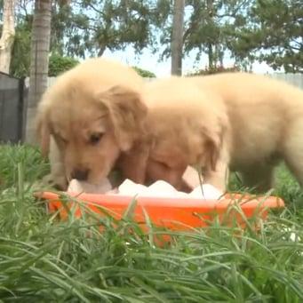 فيديو لكلاب المسترد الذهبي وهي تأكل مكعبات الجليد
