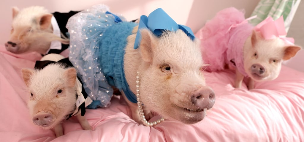 America's Most Pampered Domestic Pigs
