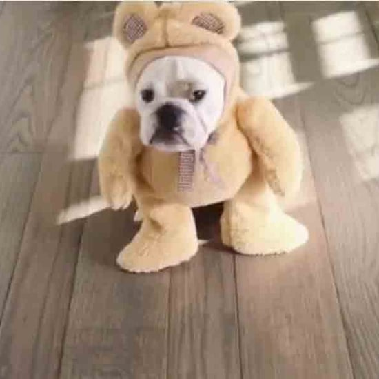 Bulldog Wearing a Teddy Bear Costume