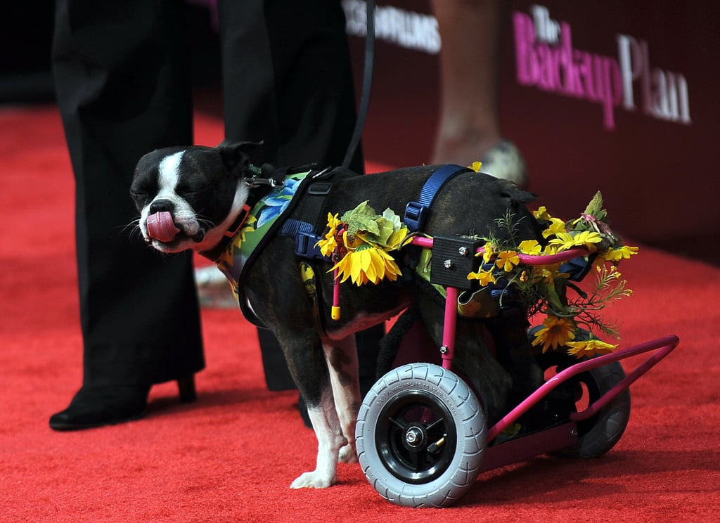 "Awww, ""Nuts"" — All About The Back-Up Plan's Disabled Doggie"