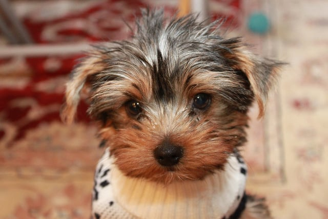 This cute little pup is cuddle-ready in his getup.  Source: Flickr user hj_west
