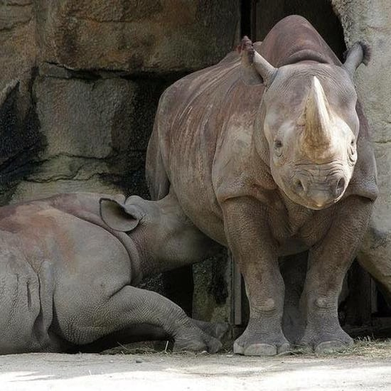 Comments on Rhino Breastfeeding at Cincinnati Zoo