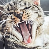 Feline yawns are the BEST yawns.