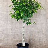 """Ficus Benjamina """"Danielle"""""""