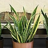 Sansevieria Laurentii (Snake Plant) ($25)