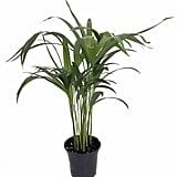 Areca Butterfly Palm