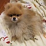 Powder Puff Pup