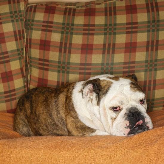 8. Bulldog
