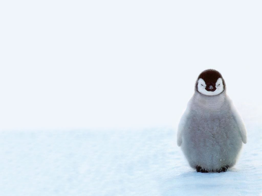 penguin facts popsugar love sex after hatching baby penguins stay in the nest where they are fed by their parents