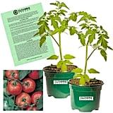 Clovers Garden Early Girl Tomato Plants