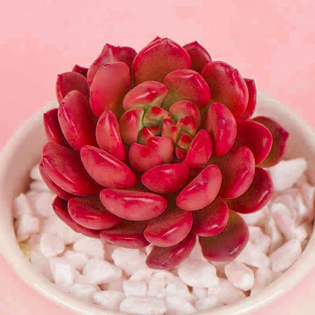 Colour-Changing Succulent From Etsy Turns Pink in the Sun