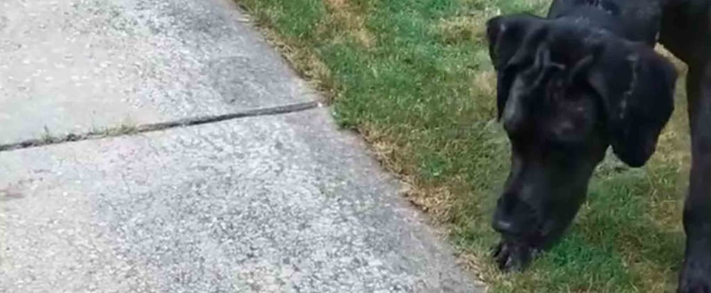 Video of Great Dane Playing With Kitten