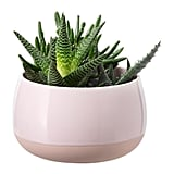 Succulent Plant With Pink Pot ($15)