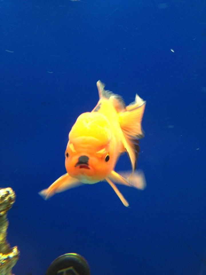 """I see your angry goldfish and raise you my evil Hitler goldfish."" Source: Reddit user LoganTurk via Imgur"