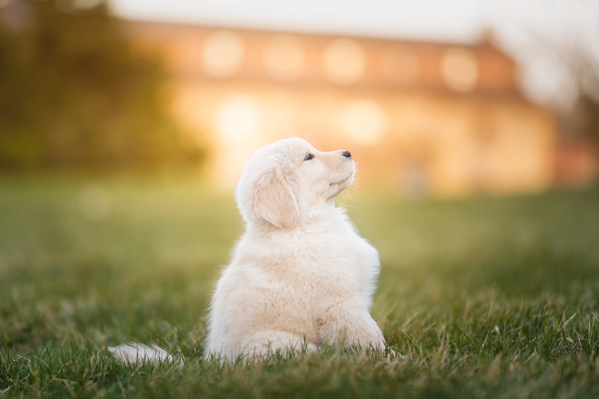 A Golden Retriever puppy looking up in a suburban field.