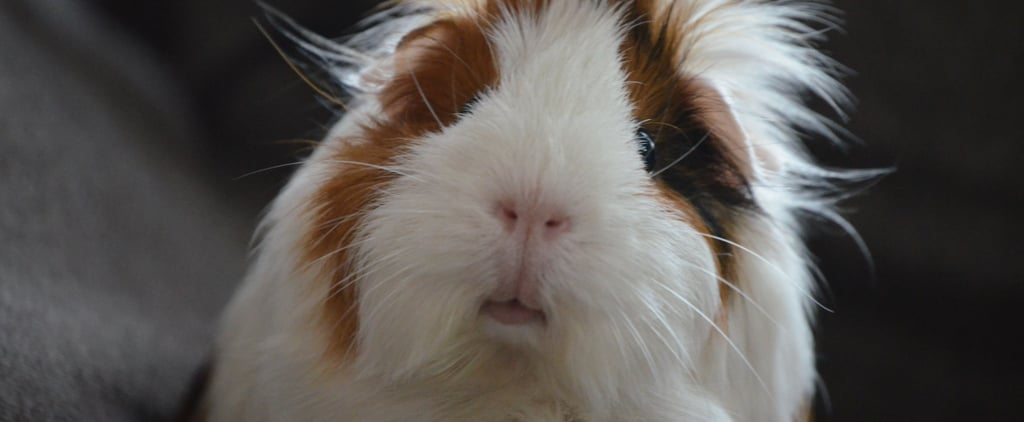 5th Grader Shares Why They Want a Guinea Pig