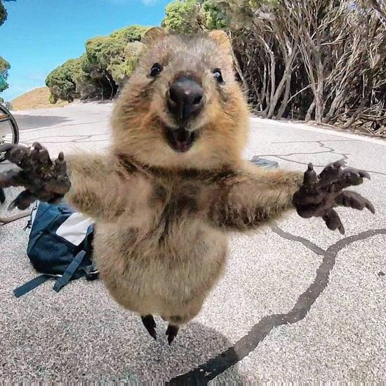 What Is an Australian Quokka?