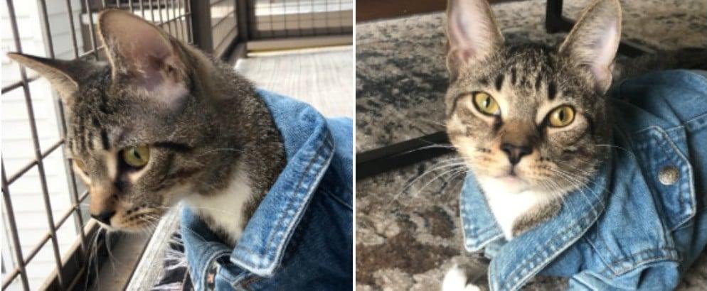 Cat Wears Jean Jacket in Viral Tweet