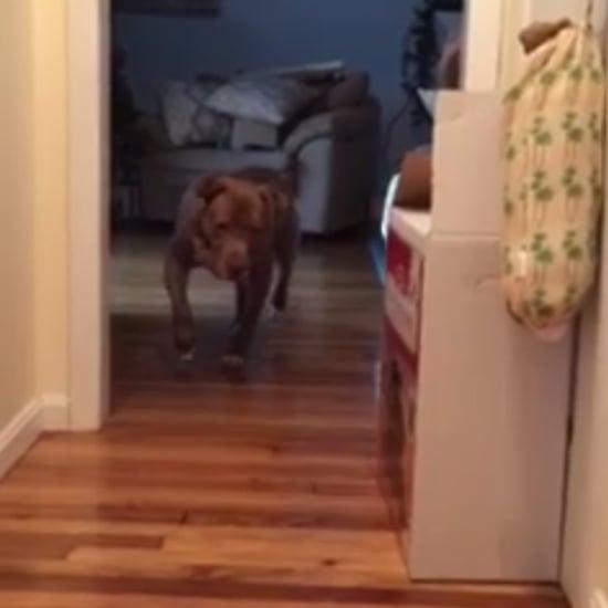 كلب بيتبول يسير على رؤوس أصابعه