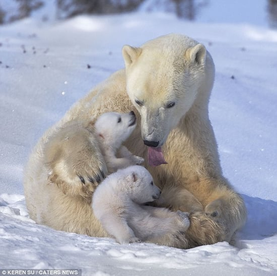 Adorable Polar Bear Cubs Playing in the Snow with Mom (PHOTOS)