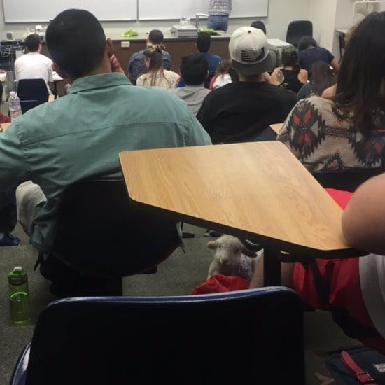خروف صغير أليف في الصف