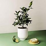 Lime Citrus Plant