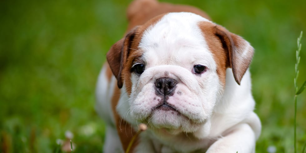 Facts About Bulldogs
