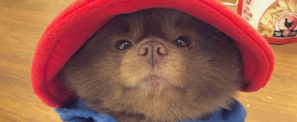 Pomeranian Dressed Up as Paddington Bear