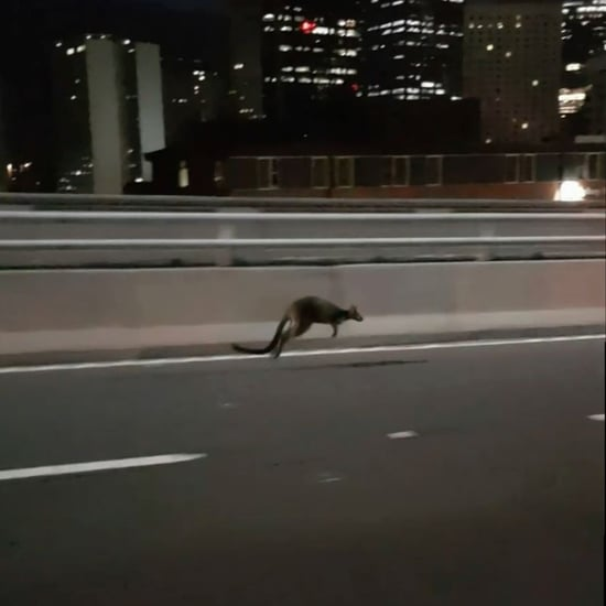Wallaby Hopping Across Sydney Harbour Bridge