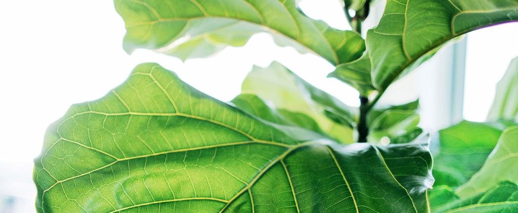 Where to Buy Cheap Fiddle Leaf Fig Trees